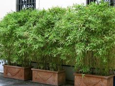 Bambus im Kübel kann eine Terrasse im Garten oder einen Balkon mit einem lebend… Bamboo in the tub can protect a terrace in the garden or a balcony with a lively privacy very well from prying eyes. Privacy Plants, Privacy Landscaping, Patio Privacy, Screen Plants, Bamboo Privacy Fence, Privacy Hedge, Landscaping Ideas, Tall Potted Plants, Potted Bamboo