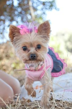 My baby girl yorkie at our engagement pictures.