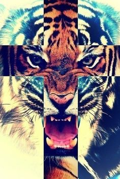 Taiger cross tiger colage tiger roar