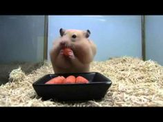 Cute Hamster Stuffs Face Full Of Carrots - YouTube