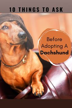 You Need To Ask These 10 Questions BEFORE Adopting a Dachshund.  Have you considered Dachshund rescue centers or shelters before going to a dog breeder?  So many young doxies need homes that are still quite young and don't need as much training.  #dachshund  #doxie