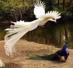 The Most Beautiful Rears Top 41 White Peacock Birds In The World Right Now Trends Pretty Birds, Beautiful Birds, Animals Beautiful, White Peacock, Peacock Bird, Nature Animals, Animals And Pets, Cute Animals, Peacock Flying