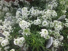 Golden Plains Greenhouse in Colby: Annuals, such as the Bacopa pictured here, love FERTELLIGENT.