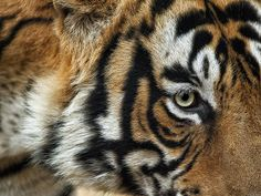 Tiger Eye | Flickr - Photo Sharing!