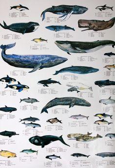 Ilustración científica ballenas
