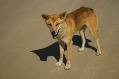 The dingo has lived in Australia for much longer than any other introduced animal. Still, it didn't evolve here. Dingos were introduced at least 3500 years ago.    The wild dogs had become an integral part of the Outback environment, but when white settlers arrived here, and brought their sheep, and there was a clash of interests, the hunter became the hunted.    Dingo numbers are steadily declining, so much so that dingos could become extinct within just a few decades. And that means we would be losing our best weapon in the fight against the most destructive feral predators and pests: cats, foxes and rabbits.    Not a very promising outlook for native Australian desert animals...