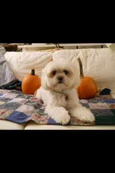 My 2 year old Lhasa Apso. Such a sweetheart!