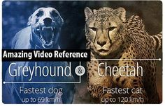 All About Animation: [Great Video Reference]- Cheetah vs Greyhound - Wo...