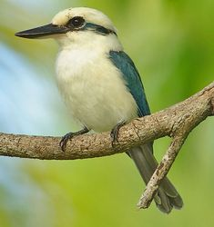 Chattering Kingfisher, Todiramphus tutus. The species is found in the Cook Islands and the Society Islands in French Polynesia