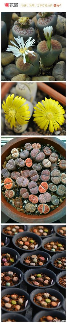 Lithops -- Living Stone