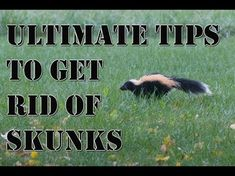 How to Get Rid of Skunks. While skunks are generally harmless creatures, it's best not to get too close to them. You risk getting a dose of their noxious spray, or worse, a bite from a skunk carrying rabies. Skunks are omnivores that can. Best Pest Control, Bug Control, Weed Control, Skunk Repellent, Getting Rid Of Skunks, Household Pests, Bees And Wasps, Pest Management, Humming Bird Feeders