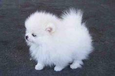 Aaaaaaah!! Pomeranian. Fluff ball. Pom-pom fluff ball.