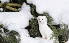 Preview wallpaper ermine, snow, branch, animal, winter
