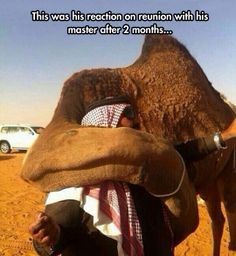 Camels are very loyal animals…