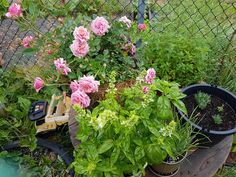 Progress of my first garden :) #gardening #garden #DIY #home #flowers #roses #nature #landscaping #horticulture