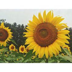 【y____riho】さんのInstagramをピンしています。 《. . . #🌻 #ひまわり #ひまわり畑 #向日葵 #太陽 #夏 #花 #黄色 #植物 #山 #森 #道の駅 #明治の森 #黒磯 #那須 #那須塩原 #栃木 #sunflower #sun #flower #yellow #green #plants #forest  #summer #landscape #nasu #tochigi #japan #drive》