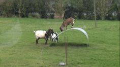 This Is Real Footage Of Goats Having A GoodTime