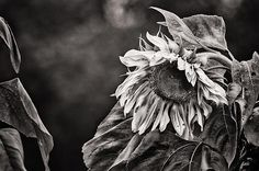 Gathering Sun Photograph by Susan Capuano - Gathering Sun Fine Art Prints and Posters for Sale fineartamerica.com Just fabulous photography from #susancapuano #sunflower #blackandwhitephotography
