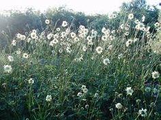Image result for cephalaria gigantea