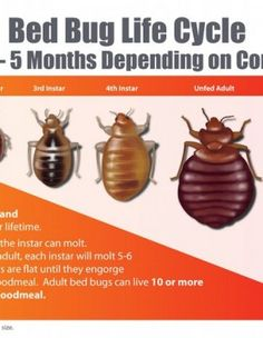 all about the bed bug life cycle   did you know   pinterest