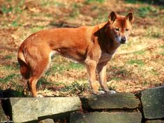 New Guinea Singing Dog - 30 Rare and Exotic Dog Breeds You've Never Heard Of And Need To Know About Immediately