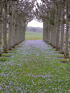 The Lime walk in spring at Mottisfont Abbey Garden, England.