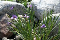 Blue Eyed Grass perfect foe Xeriscape Landscapes