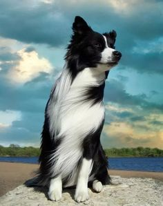 On a Windy Day Sits a Beautiful Border Collie Enjoying the Breeze. Perros Border Collie, Border Collie Welpen, Border Collie Puppies, Collie Dog, Border Collie Humor, Border Collie Art, All Dogs, I Love Dogs, Best Dogs
