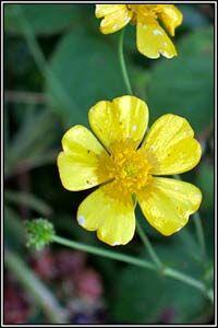 Irish Wildflowers - Meadow Buttercup