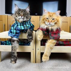 Any pyjama-pawty in town? Because we are ready to rock it! ------------------------- Follow us: -@mainecoonloves ------------------------- Douple tap and tag your #MaineCoon loving friends below! Be sure to hit follow for awesome pics! From: @themainecoonlife Thank you so much !