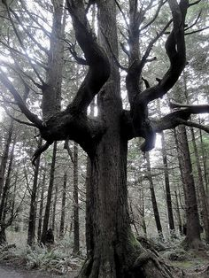 Gnarled and old standing among youngters