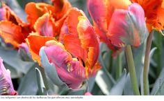 Los tulipanes son dentro de las bulbosas los que ofrecen más variedades