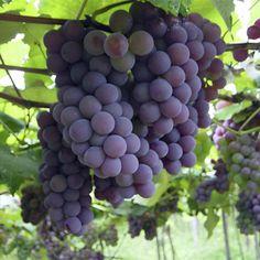 ╭⊰✿ #UVA# Nome popular: videira Nome científico: Vitis vinifera L. Família…