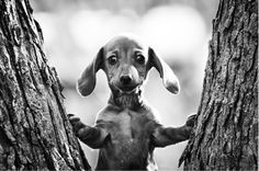 I have a weakness for dachshund puppies. Dachshund Funny, Dachshund Puppies, Weenie Dogs, Dachshund Love, Cute Puppies, Chihuahua, Cute Dogs, Dogs And Puppies, Daschund