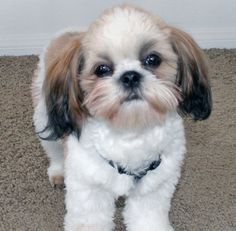 Cutest Small Dog Breeds, Cute Small Dogs, Cute Dogs, Perro Shih Tzu, Shih Tzu Puppy, Shih Tzus, Cute Puppies, Dogs And Puppies, Animals Beautiful