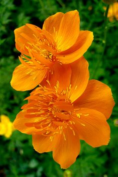 Trollius Chinensis 'Golden Queen' Globeflower