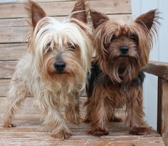 Petfinder  Adoptable | Yorkshire Terrier Yorkie | Dog | Yukon, OK | Kassie and Keibo