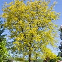 Sunburst Honeylocust Honey Locust Tree Honey Locust Fast Growing Trees
