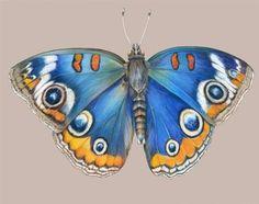 """Blue Buckeye Buterfly"" - Original Fine Art for Sale - � Mindy Lighthipe"