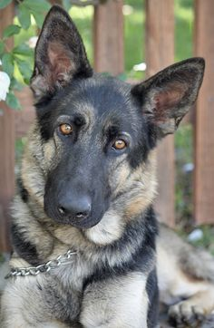 #German# Shepherd