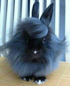 A fancy coiffured blue angora bunny!