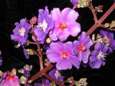 purpura natural