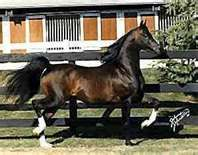 Huckleberry Bey is one of the most influential English Arabian horse sires in modern history