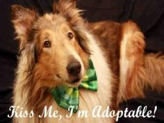 BEAUTY is an adoptable Collie Dog in Maumee, OH. Boy, am I a Beauty... literally! I am a strikingly handsome 8 year old Collie who came to the shelter because my owner was evicted. I am great on a lea...