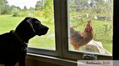 Daisy Bear meets a roo (safely through a window)  #appalachia #artlife #backwaterstills #backyardchickens #chickensofinstagram #countrylife #farmart #farmhousedecor #farmhousestyle #farmlife #fineartphotography #homedecor #labradanepuppy #lifeinthecountry #madeintn #modernfarmhouse #ruralart #ruralphotography #shopsmall #tennesseeartist  #country_features  #mycity_rural_life #OnlyTennISee #pocket_farms #rsa_rural_