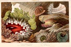Scientific Illustration | wapiti3:     Actinologia britannica : a history of...
