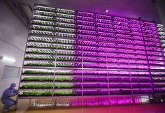 indoor plant farm japan -fisiologista de plantas Shigeharu Shimamura - https://aoquadrado.catracalivre.com.br/impacto/japones-cria-metodo-de-cultivo-que-utiliza-menos-agua-aumenta-a-producao-e-dispensa-agrotoxicos/
