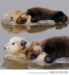 Otters always look after each other