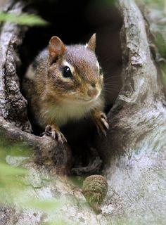 .squirrel