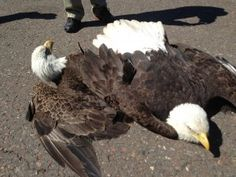 Two bald eagles in air battle crash-land at Duluth airport
